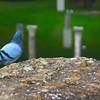 Italy, Ostia Antica, Pigeon & Ruins