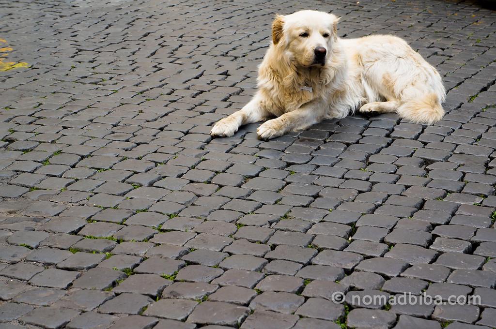 Roman dog