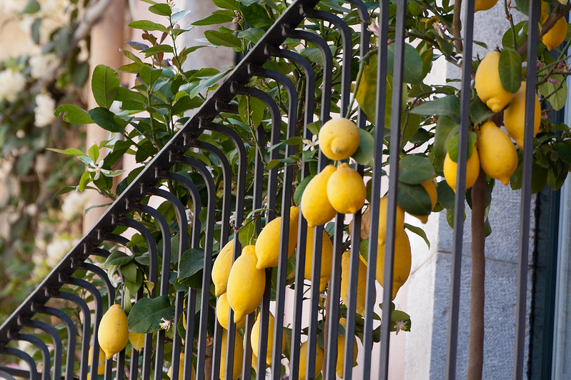 Lemon produce spotted in Sicily, Italy