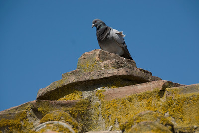 Pigeon resting above a wall in Siena, Italy
