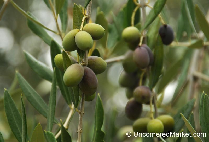 Young Olives - Torrita di Siena, Tuscany