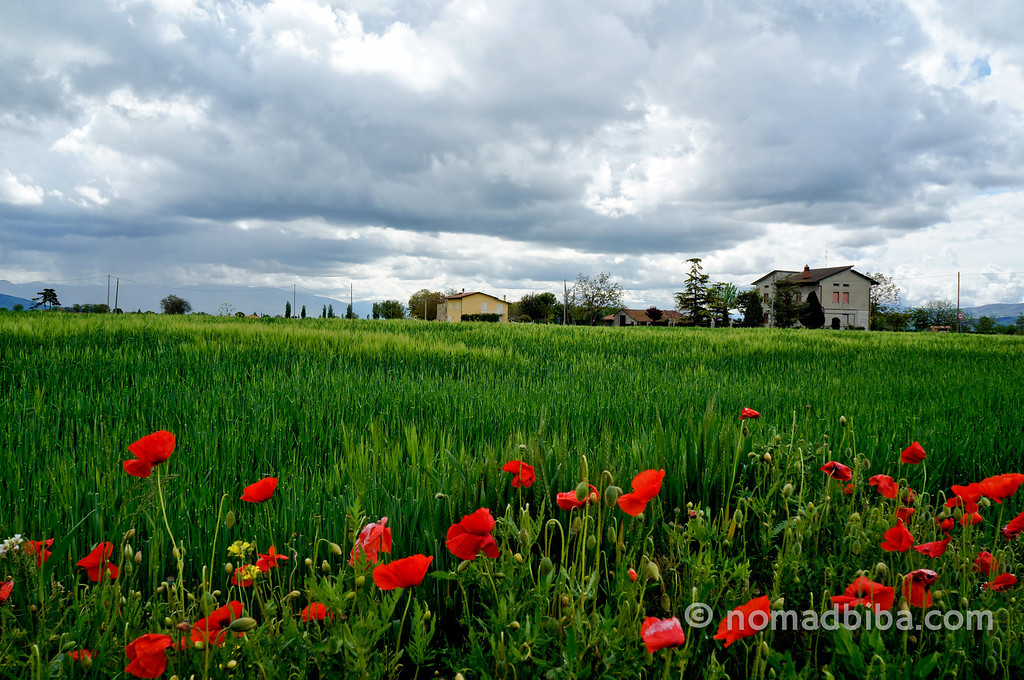 Poppy field in Assisi
