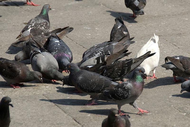 Pigeons feeding in Venice, Italy