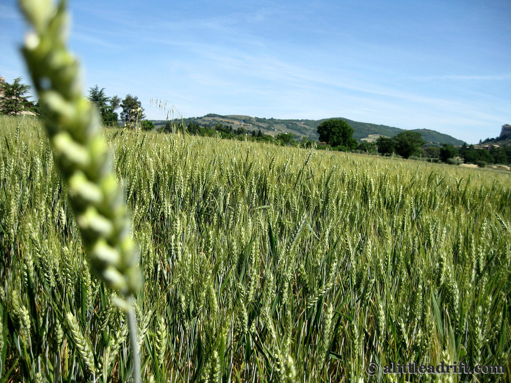 Waving wheat fields on the walk to Assisi's city center