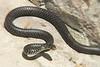 Snake, Cápri, Campania, Italy.