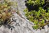 Green Lizard, Amalfi coast, Campania, Italy.