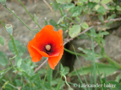 The simple, perfect and ubiguitous Italian Poppy, my favorite flower.