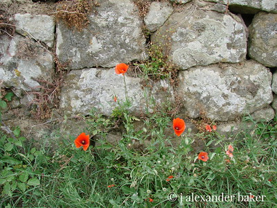 new poppies, old wall