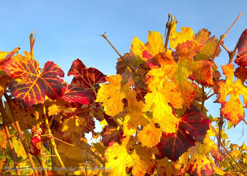 Herfstlandschap; 2018; Champagne-Ardennes; France; Vines; autumn colors; couleurs automnales; herfstkleuren