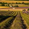 Lavender-3035-01z