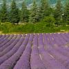 Lavender-2365z