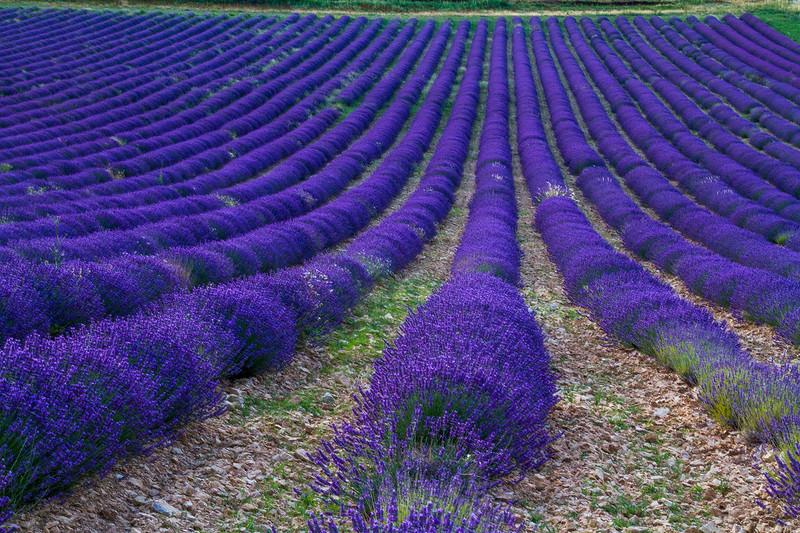 Lavender-1950z