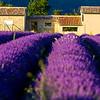 Lavender-2219z