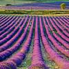 Lavender-2053-02z