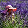 Lavender-2651z