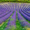 Lavender-2028z