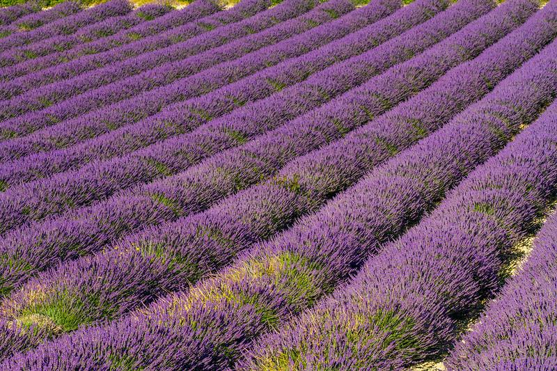 Lavender-2387z