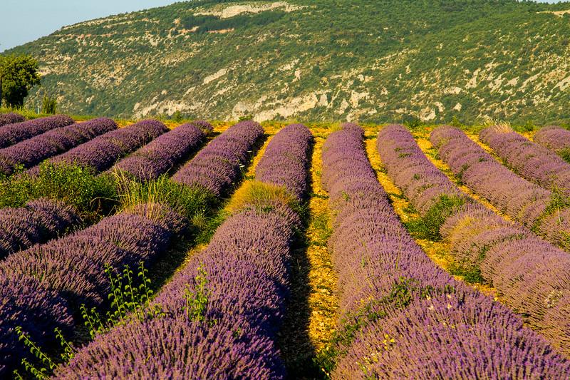 Lavender-2161z