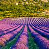 Lavender-2046-01z