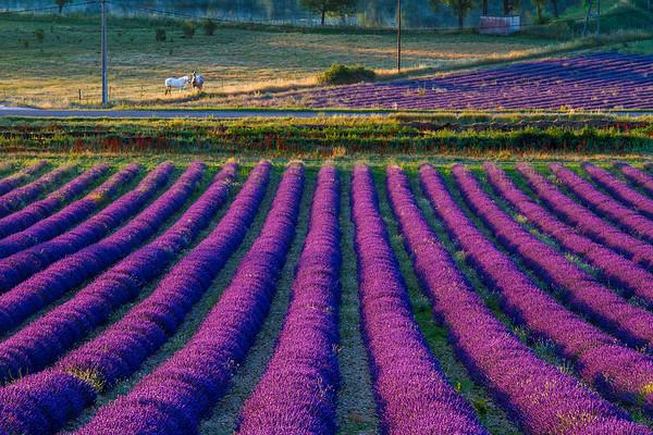 Lavender, Provence France