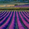 Lavender-2078-01z