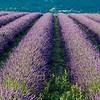 Lavender-2342z