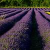 Lavender-2941z