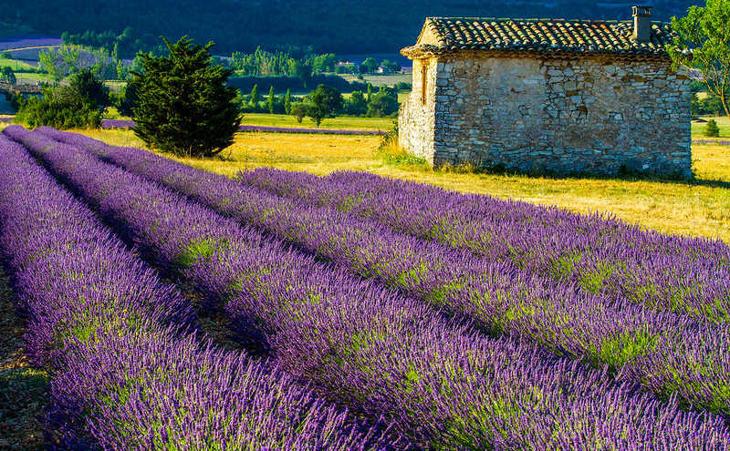 Lavender-2319-01z