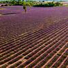 Lavender-1798z