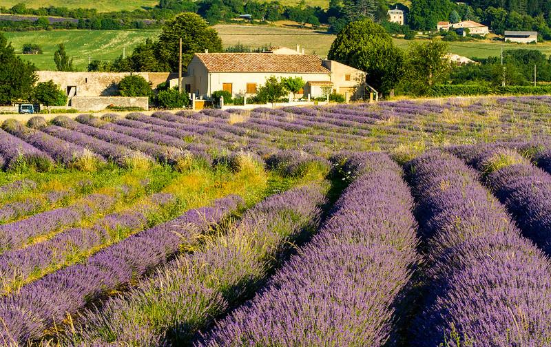 Lavender-2315z