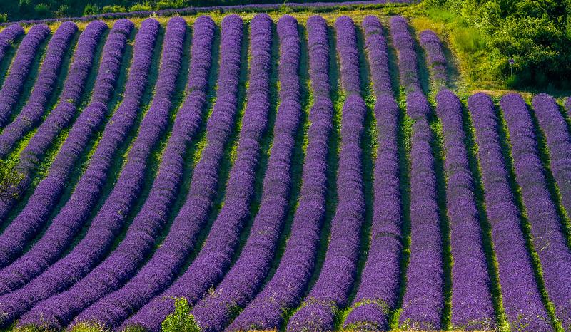 Lavender-2438zz