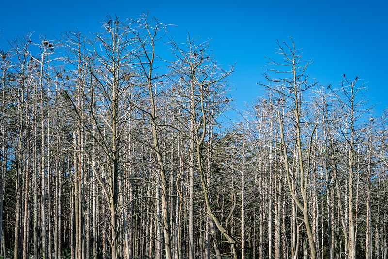Cormorant Nesting Area near Juodkrant?