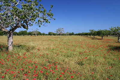 Fields of Flowers near Porto Cristo