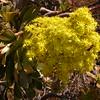 Tn 1698 Aeonium holochrysum