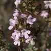 Lc 0089 Thymus vulgaris