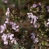 Lc 0088 Thymus vulgaris