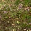 Fr 0012 Orchis simia