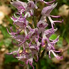 Fr 0020 Orchis simia