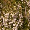 Pr 0404 Erica arborea