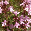 Pr 0418 Thymus vulgaris