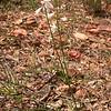 Pr 0410 Anthericum liliago