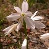 Pr 0412 Anthericum liliago