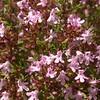 Pr 0417 Thymus vulgaris