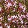 Pr 0416 Thymus vulgaris