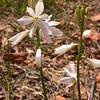 Pr 0411 Anthericum liliago