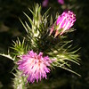 Co 0031 Carduus pycnocephalus