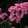 Co 0027 Centranthus ruber