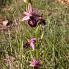 Co 0036 Ophrys drumana