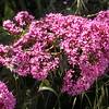Co 0028 Centranthus ruber