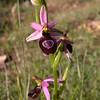 Co 0037 Ophrys drumana